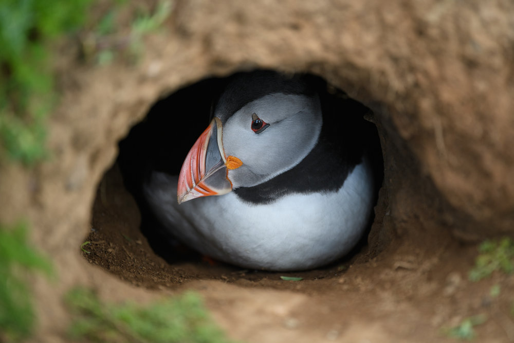 Puffin in Burrow