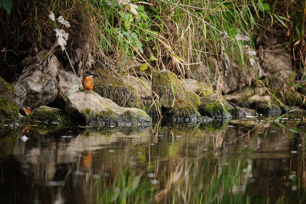Kingfisher on the River Dove