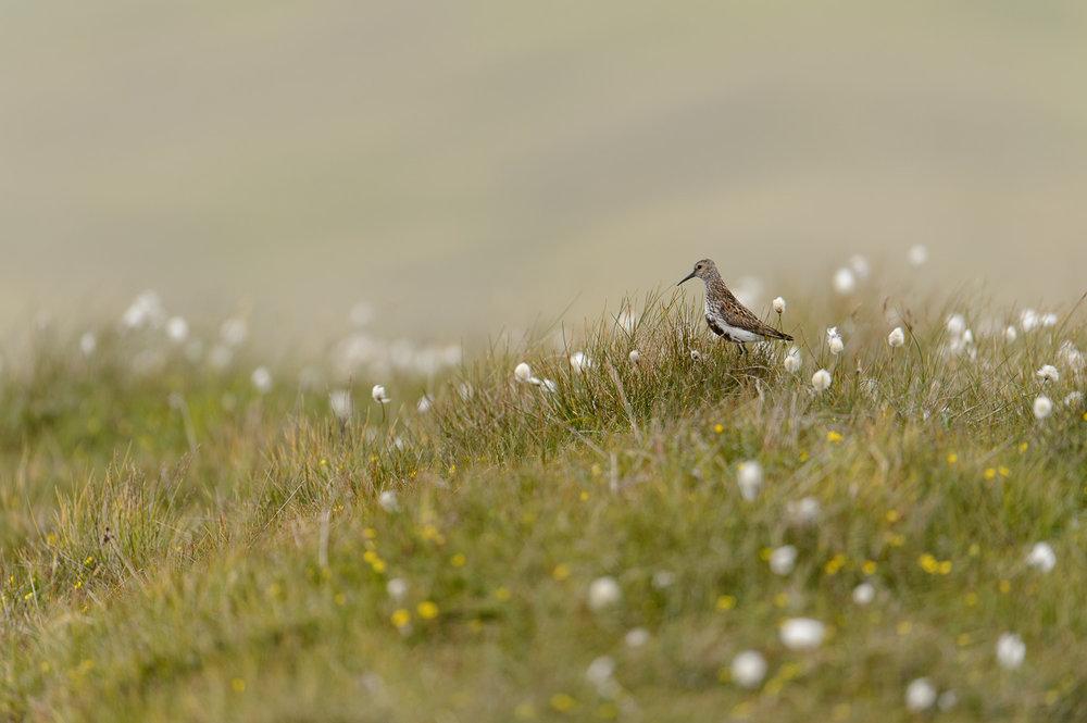 Dunlin on Shetland Moorland