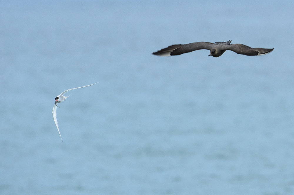 Arctic Skua and Artic Tern