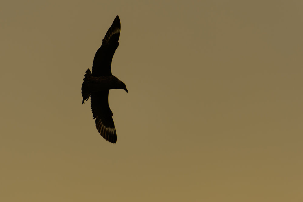 Great Skua Silhouette