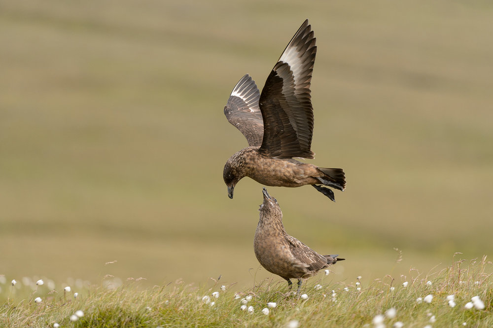 Great Skuas