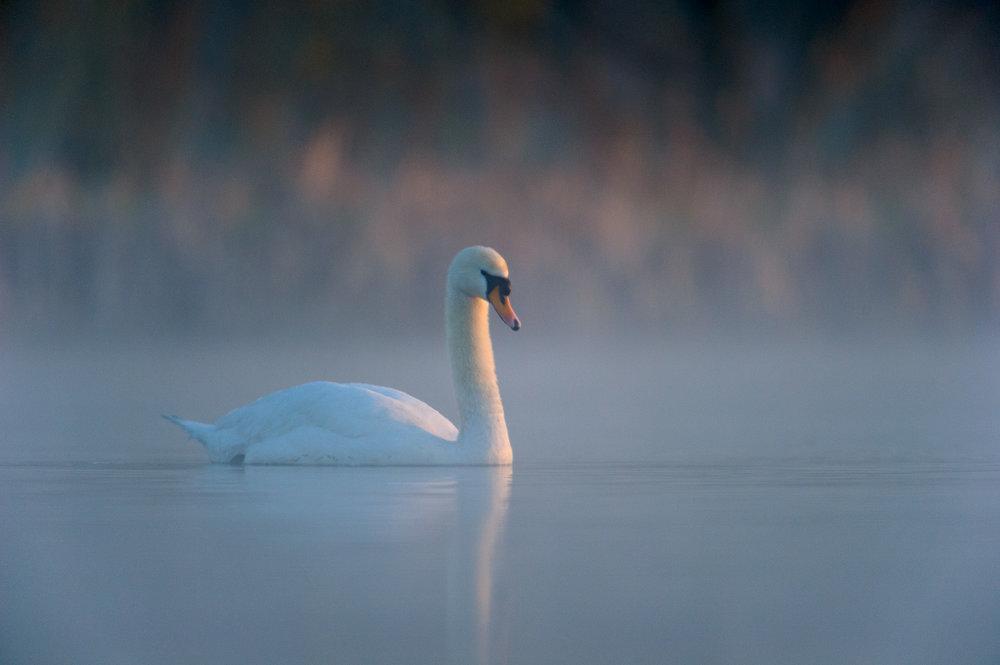 Mute Swan at Dawn