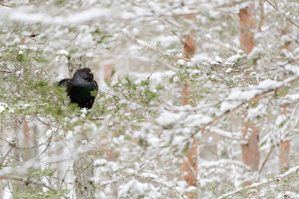 Capercaillie in Snowy Pines