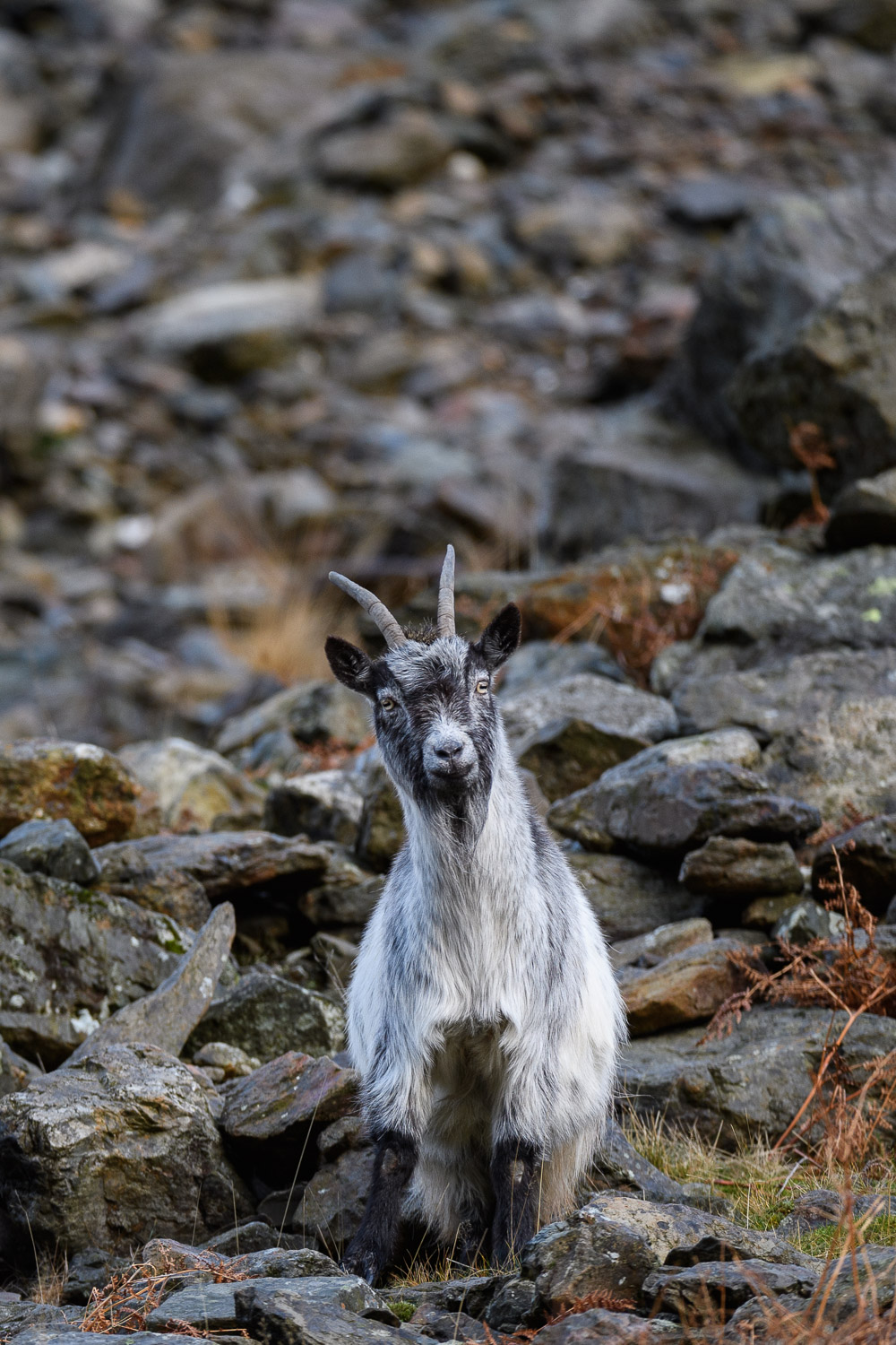 Welsh Mountain Goat Nanny