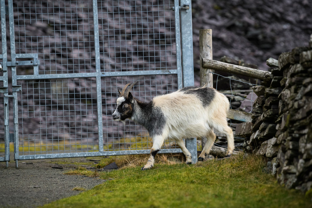 Welsh Mountain Goat