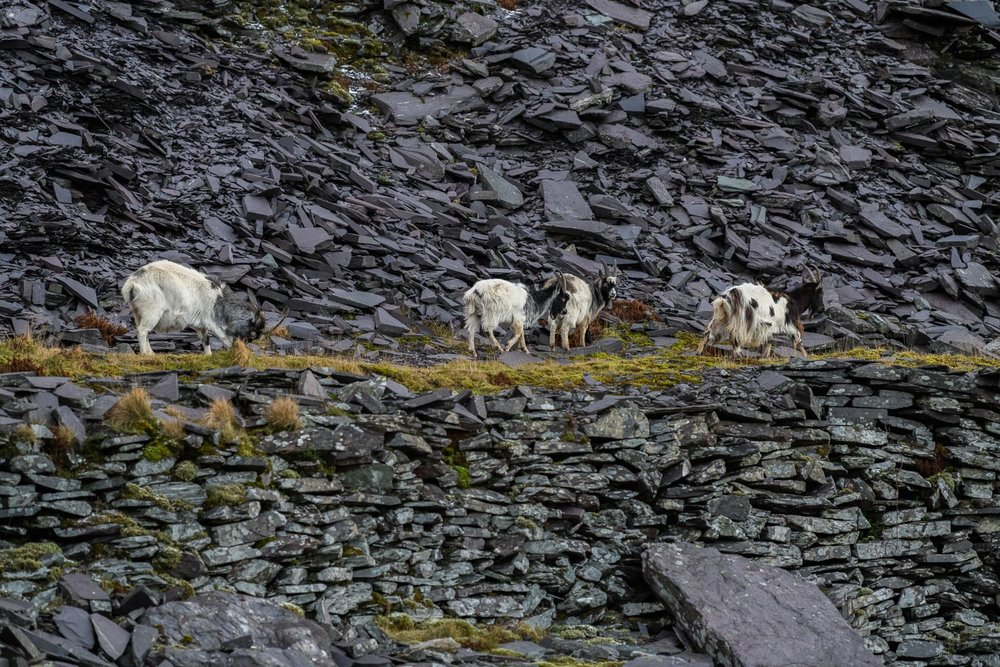 Welsh Mountain Goats