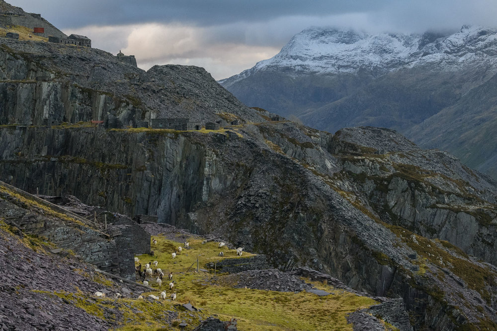 Welsh Mountain Goats in Dinorwic Quarry