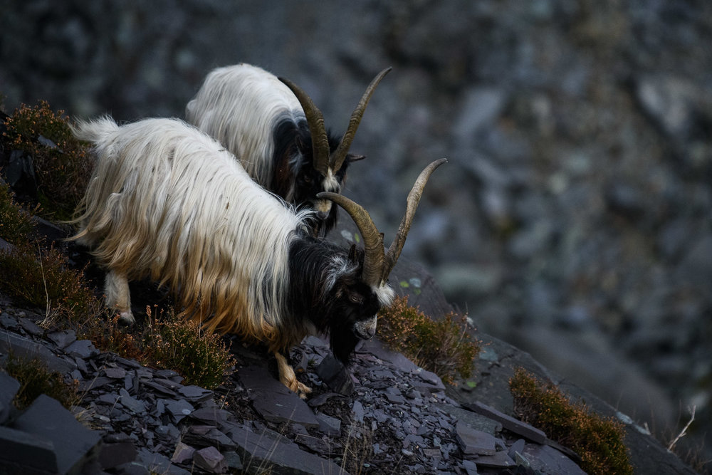 Welsh Mountain Goat Billys