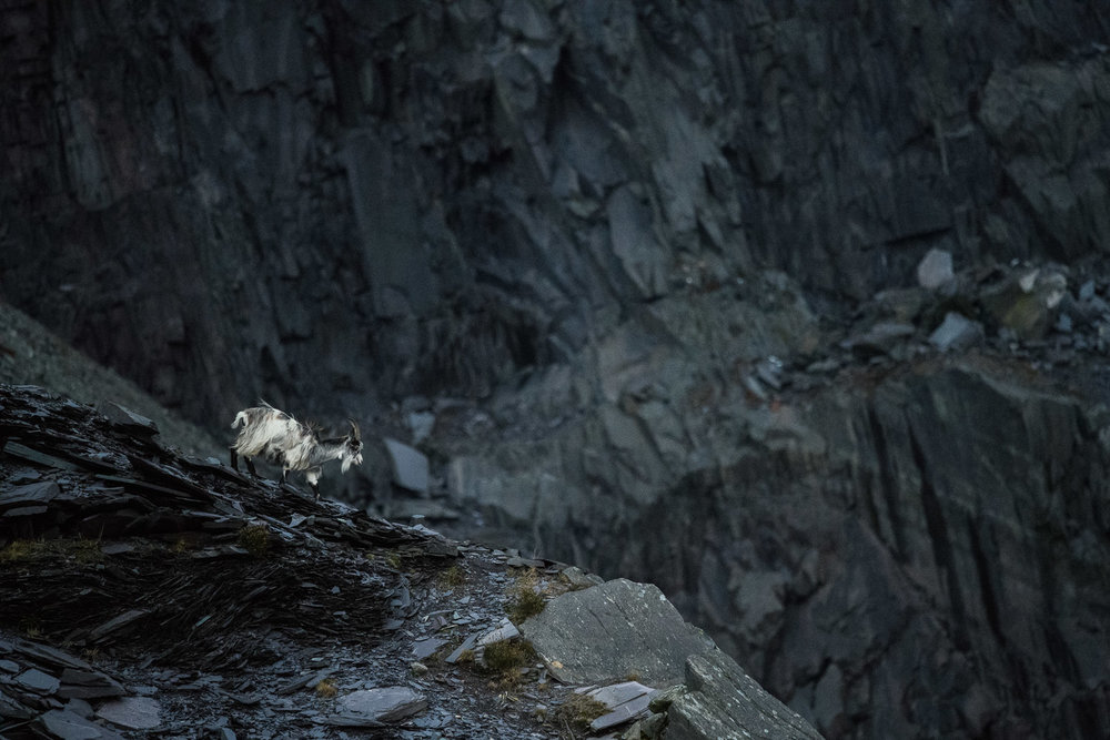 Welsh Mountain Goat in Dinorwic Quarry