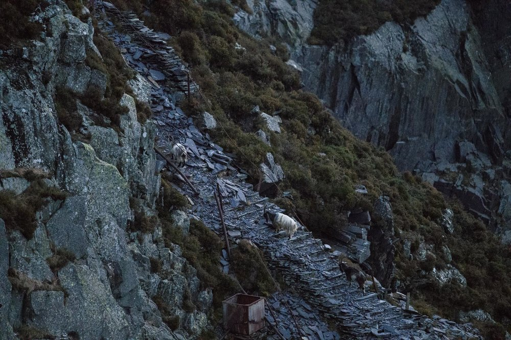 Welsh Mountain Goats in Dinorwic Quarry