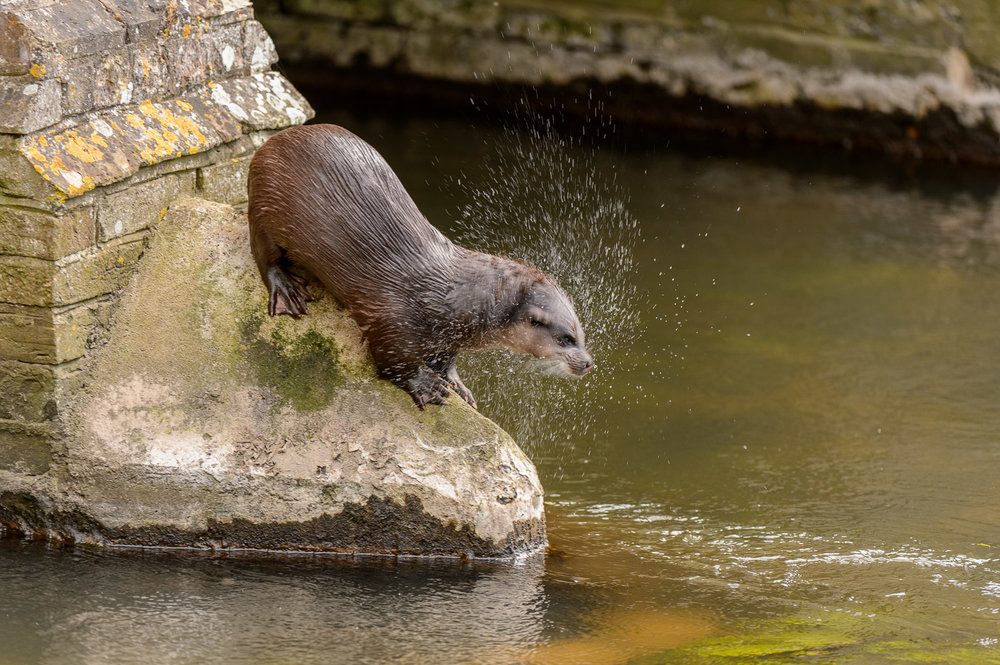 Otter on Bridge