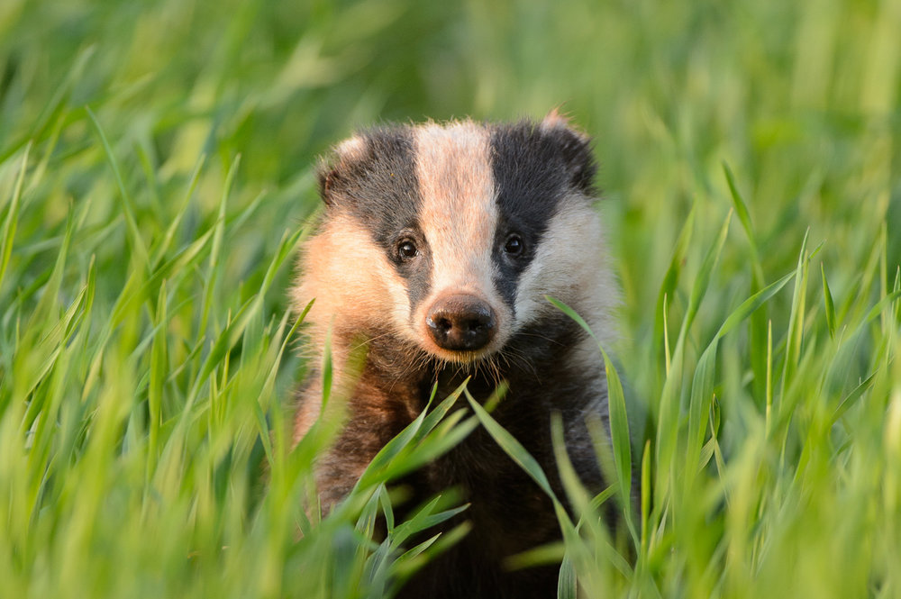 Badger in Crops