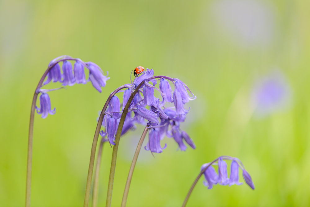 Ladybird on Bluebell