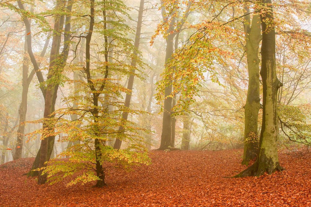 Autumnal Beech Wood