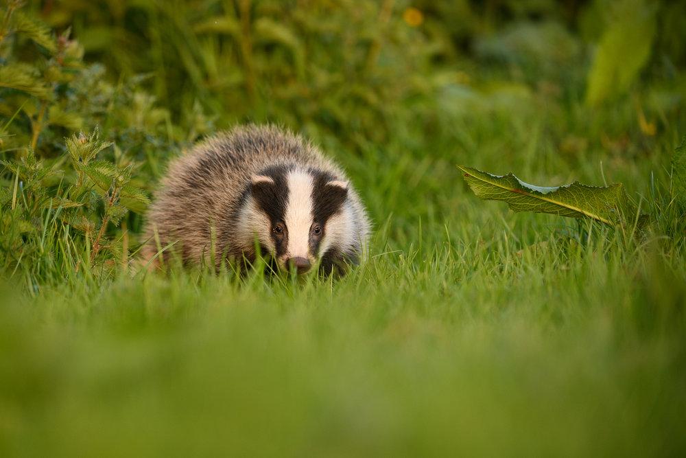 Young Badger Cub.jpg