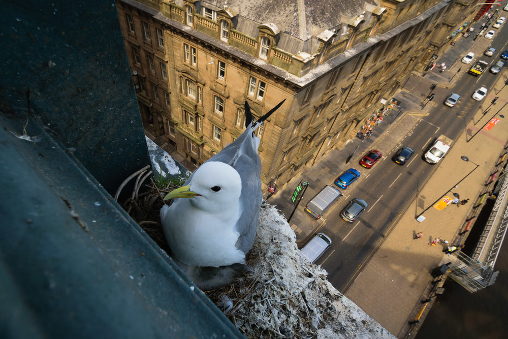 Kittiwakes nesting on the Tyne Bridge in Newcastle-upon-Tyne City Centre