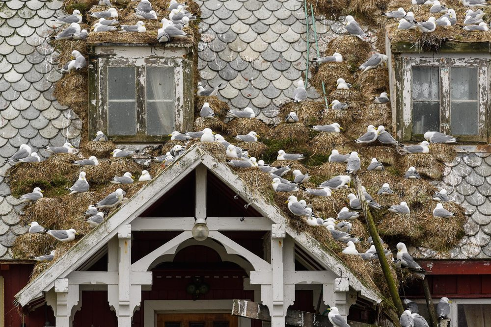 Kittiwakes nesting on a traditional red painted wooden building in the Lofoten Islands, Norway