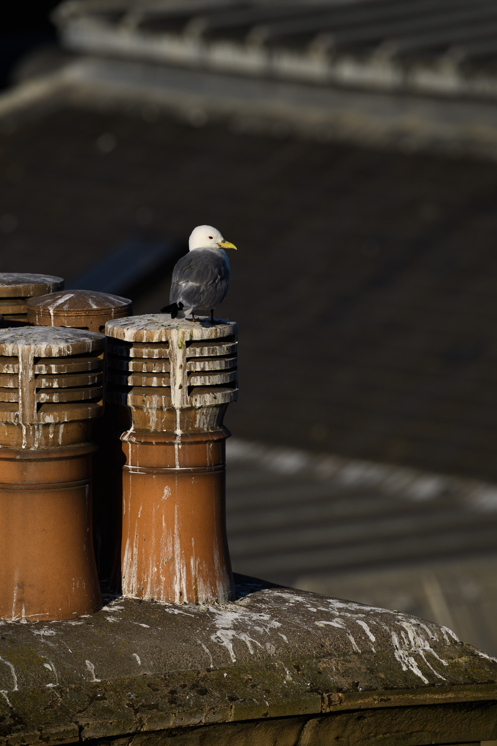 Chimney Pot Kittiwake