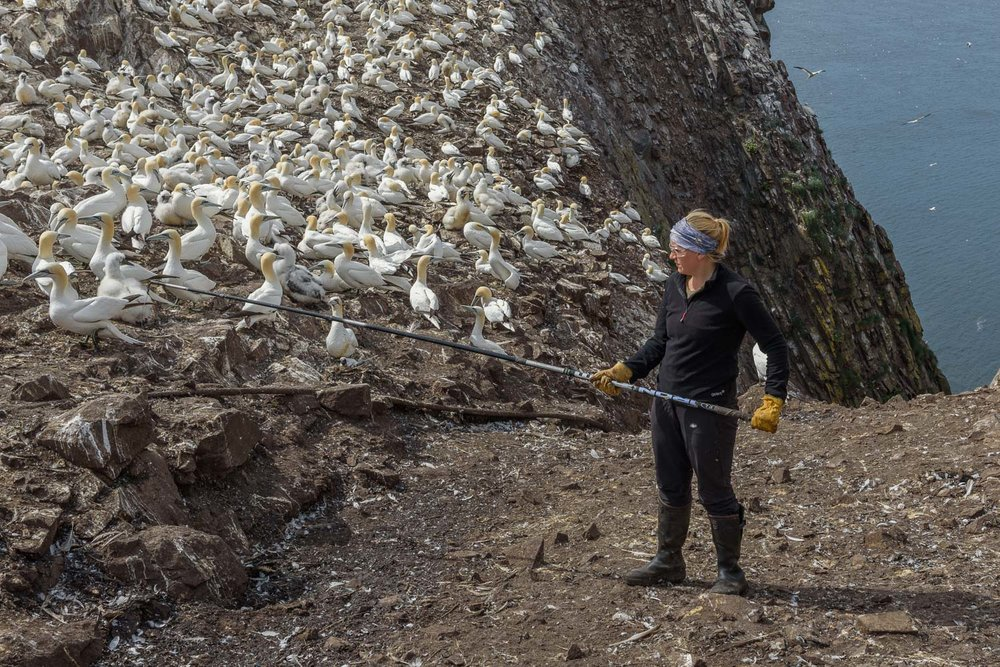 Catching Gannets