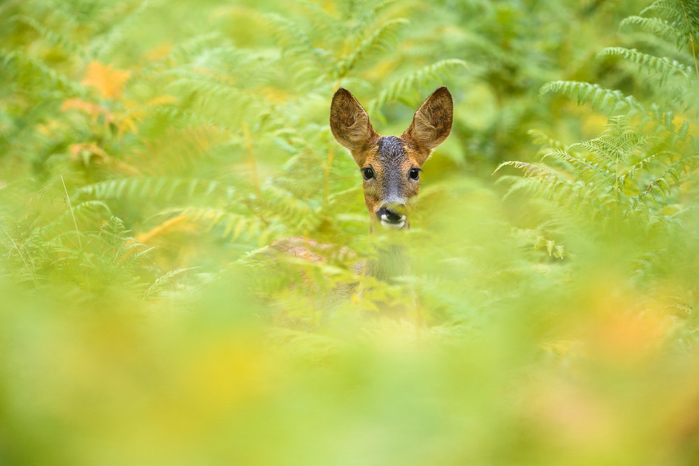 Roe Deer Doe In Green Bracken