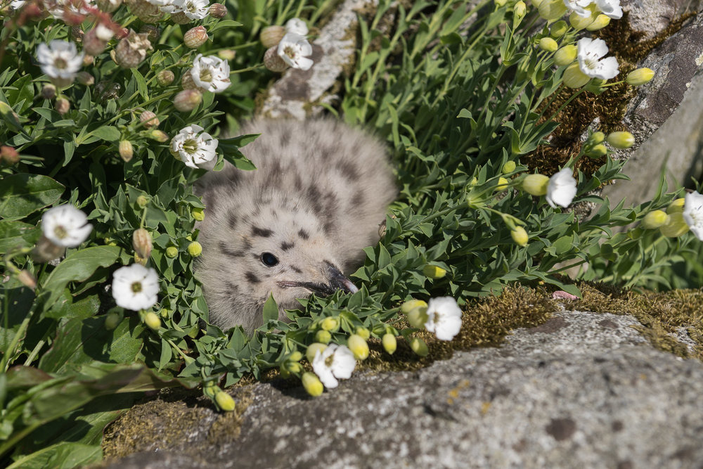 Lesser Black-Backed Gull Chick