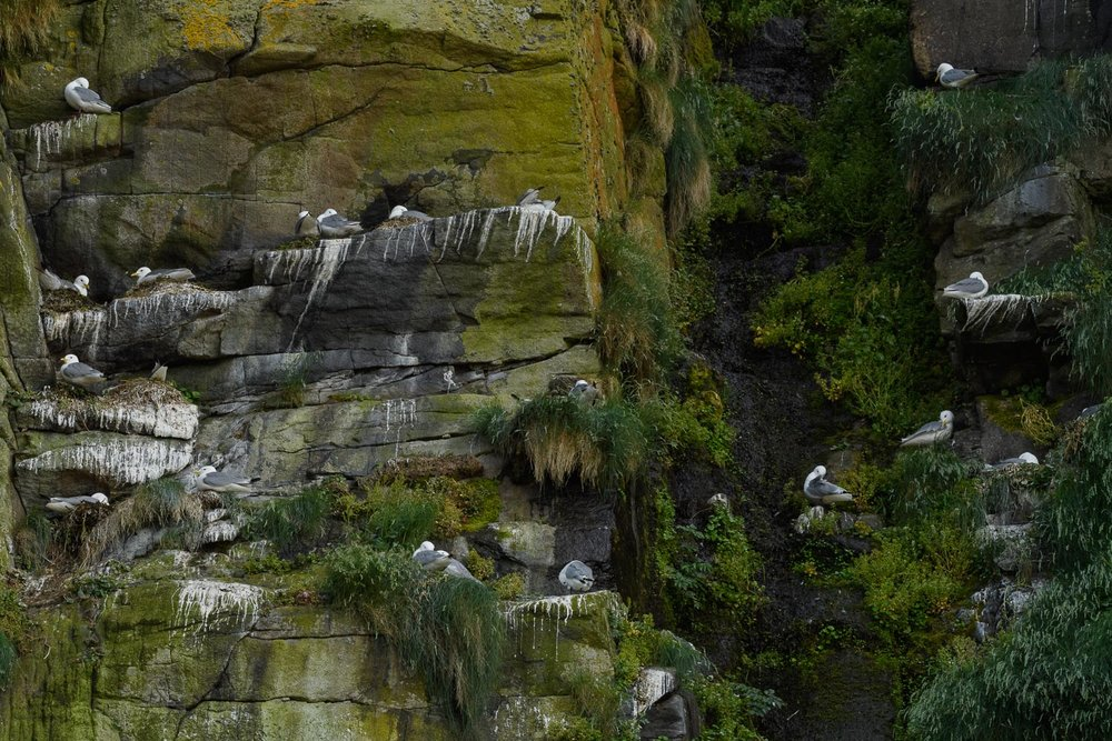 Kittiwakes Colony