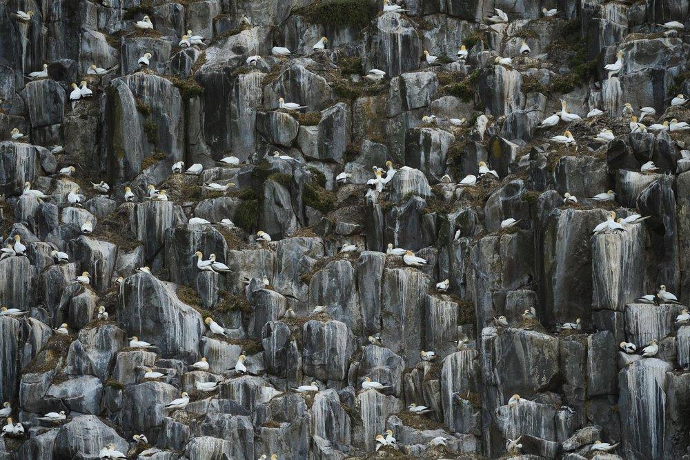 Northern gannets, Morus bassanus, nesting on cliffs, Ailsa Craig