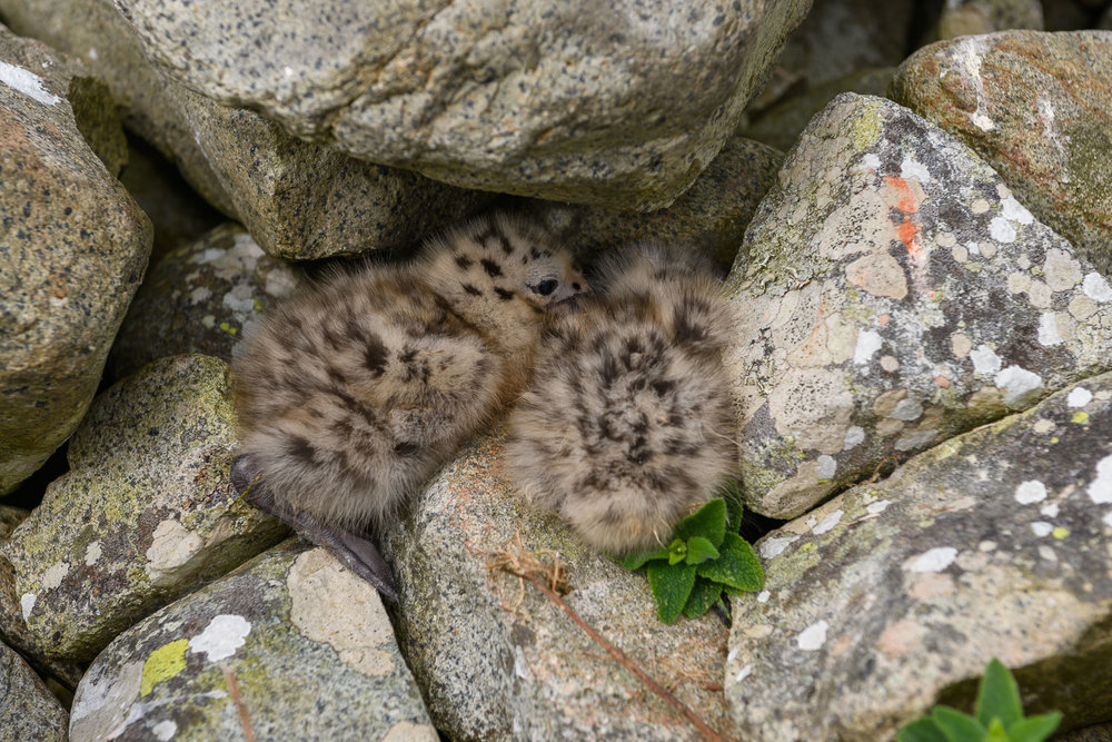 Gull chicks in rocks, Ailsa Craig, Firth of Clyde, Scotland, Jun