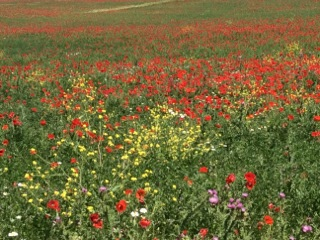 poppies in spain (1).jpeg