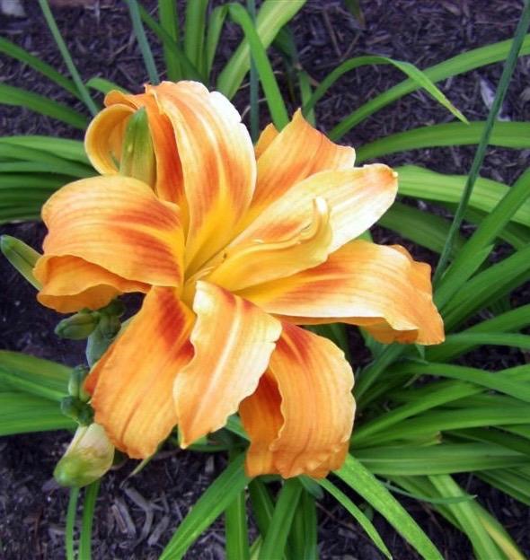 orange day lily (1).jpg