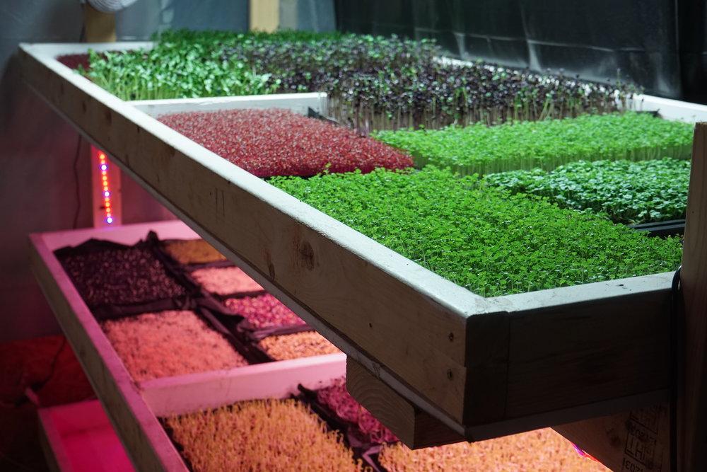 Lettuce Tree Farm's Microgreens