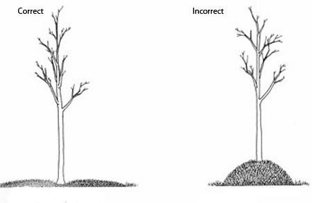 It's very important to spread the mulch as shown in the image.