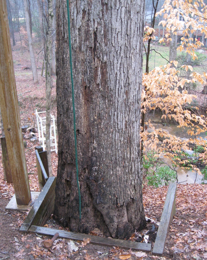 A white oak tree in Atlanta suburb became hazardous and had to be removed.  The white oak was rotting at its base and threatening to topple on the house next to it. The owner wanted to install new flooring in a separate house she owned, also in metro Atlanta. That made the project a good candidate for Eutree's Root-to-Fruit program.
