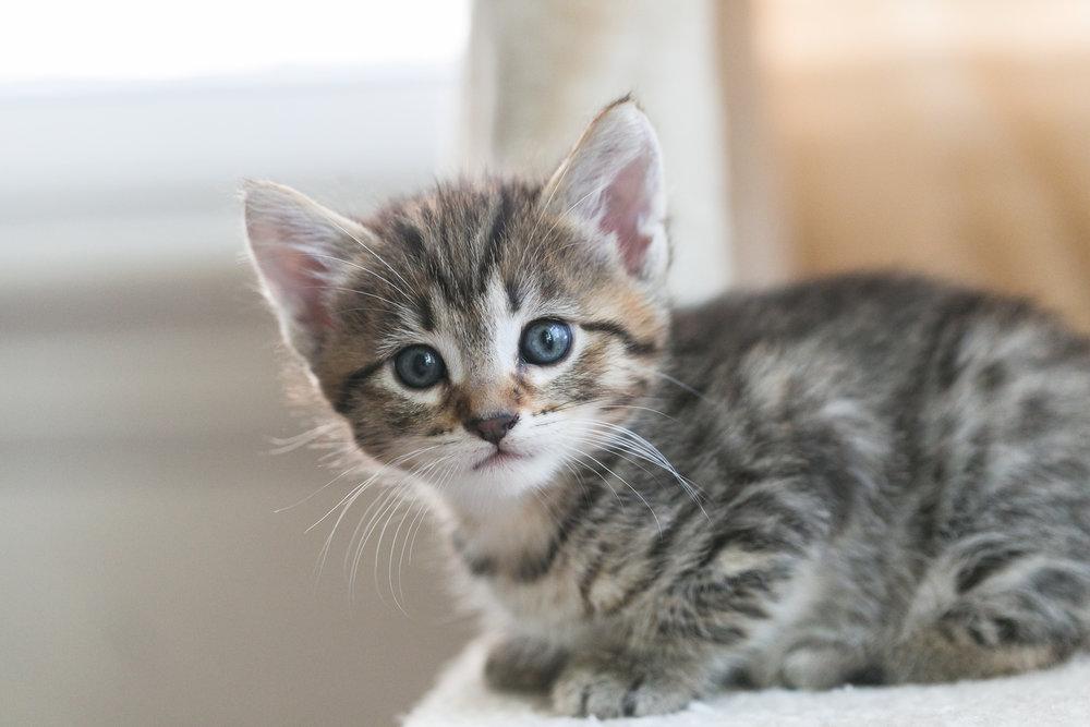 brown-female-shorthair-tabby-kitten-sitting-redlands-foster-cats.jpg