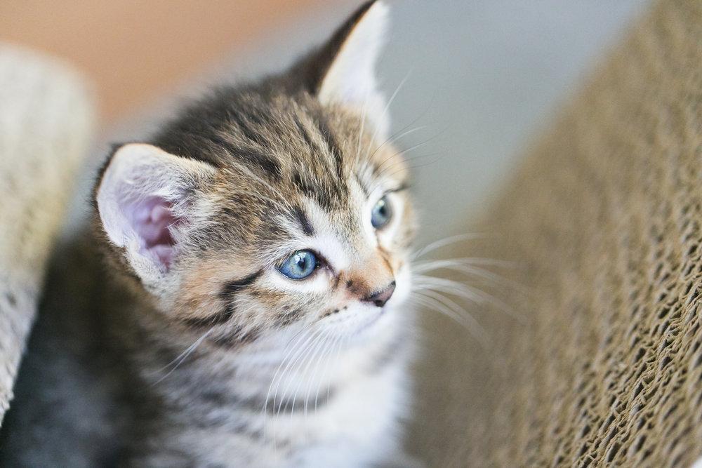 brown-female-shorthair-tabby-kitten-blue-eyes-redlands-foster-cats.jpg