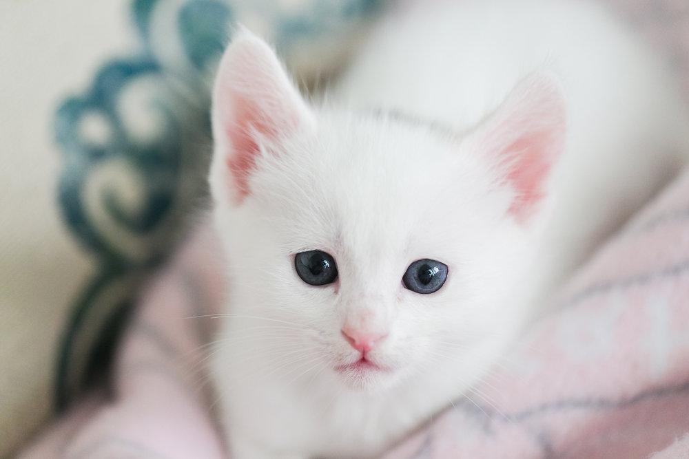 white-female-shorthair-kitten-pink-ears-redlands-foster-cats.jpg