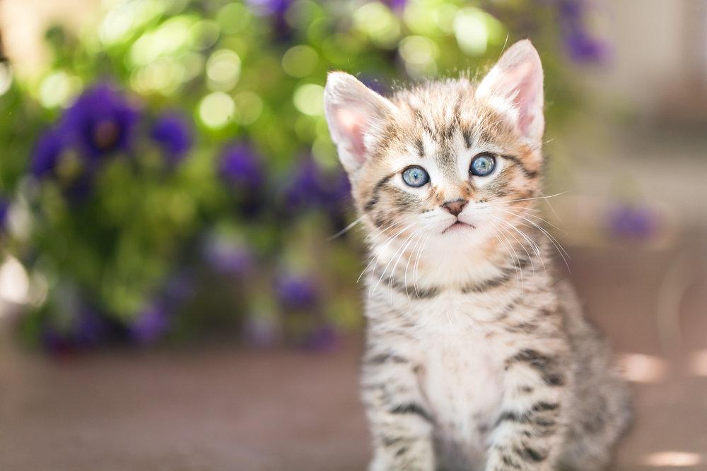 brown-shorthaired-female-tabby-kitten-sitting-garden-redlands-foster-cats.jpg