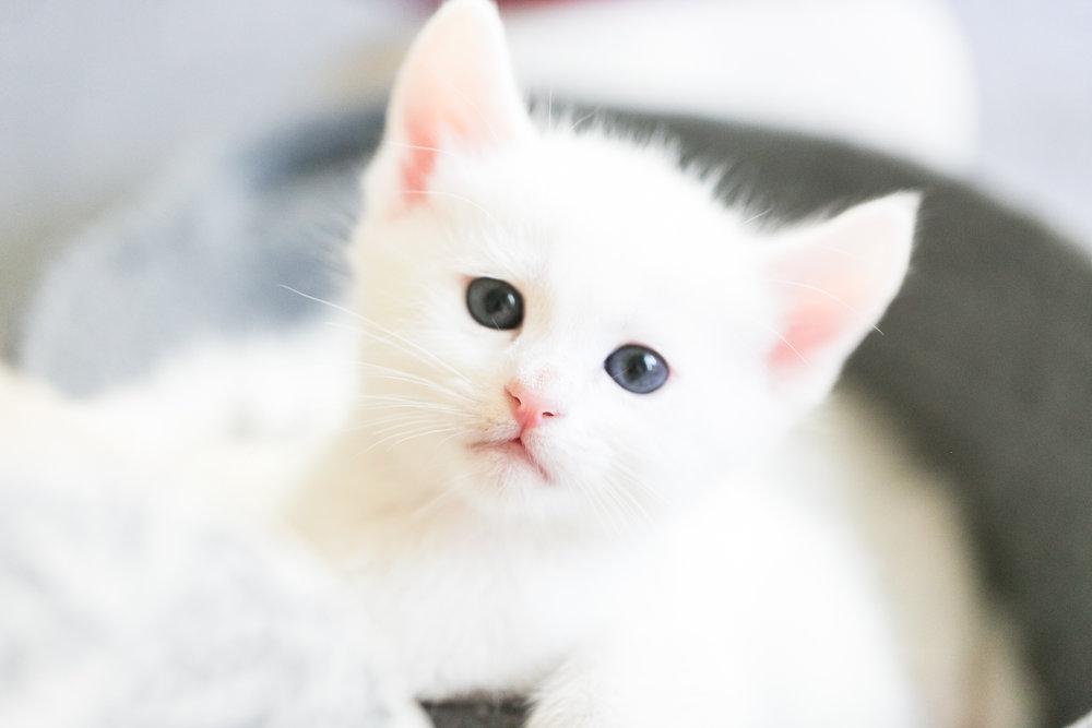 white-kitten-pink-nose-redlands-foster-cats.jpg