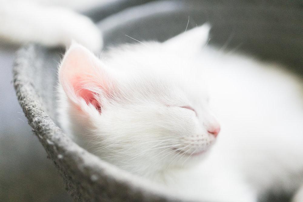 white-kitten-sleeping-basket-pink-ears-redlands-foster-cats.jpg