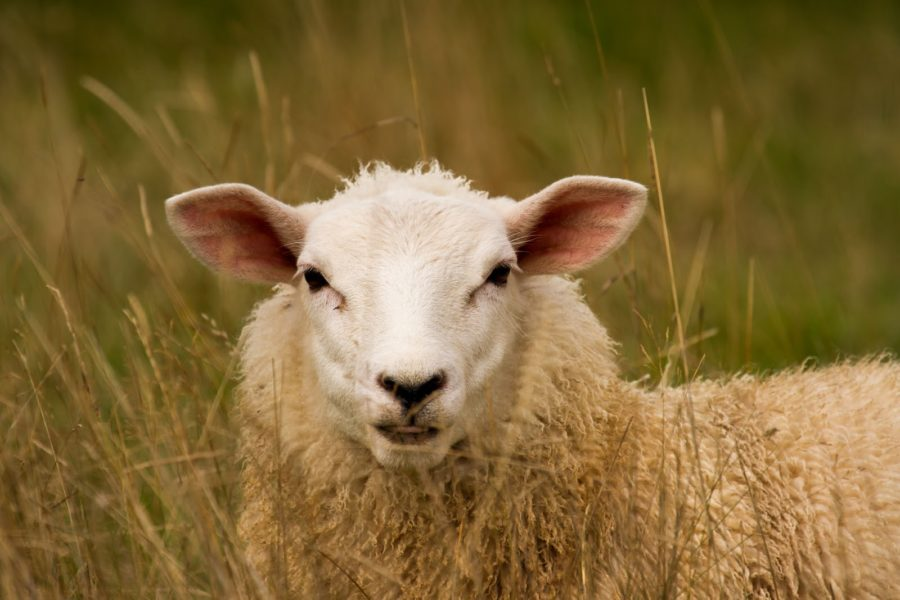 A_sheep_in_the_long_grass