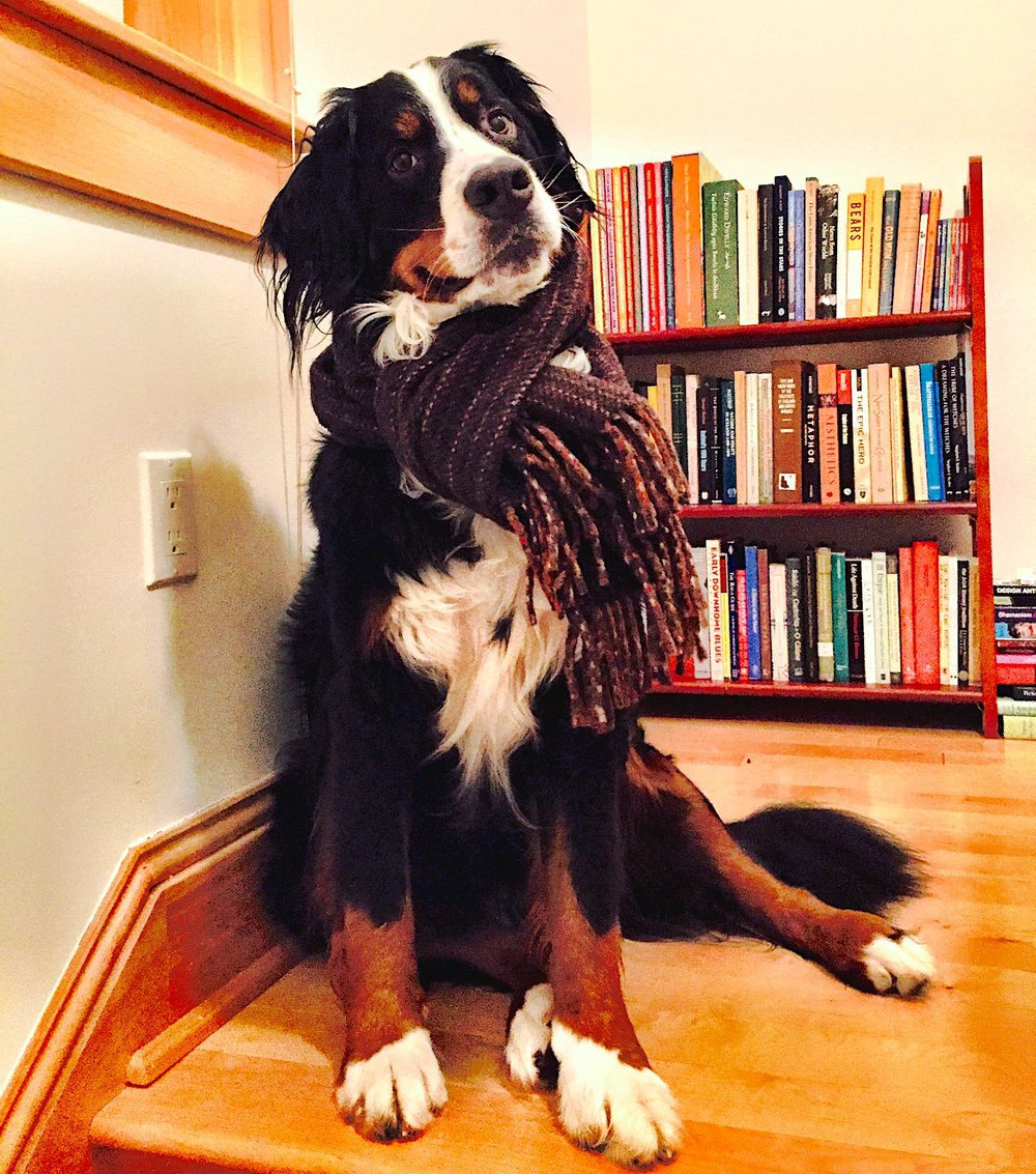 Spokesdog, Sofia the Bernese Mountain Dog, posing in her scarf by book shelves.