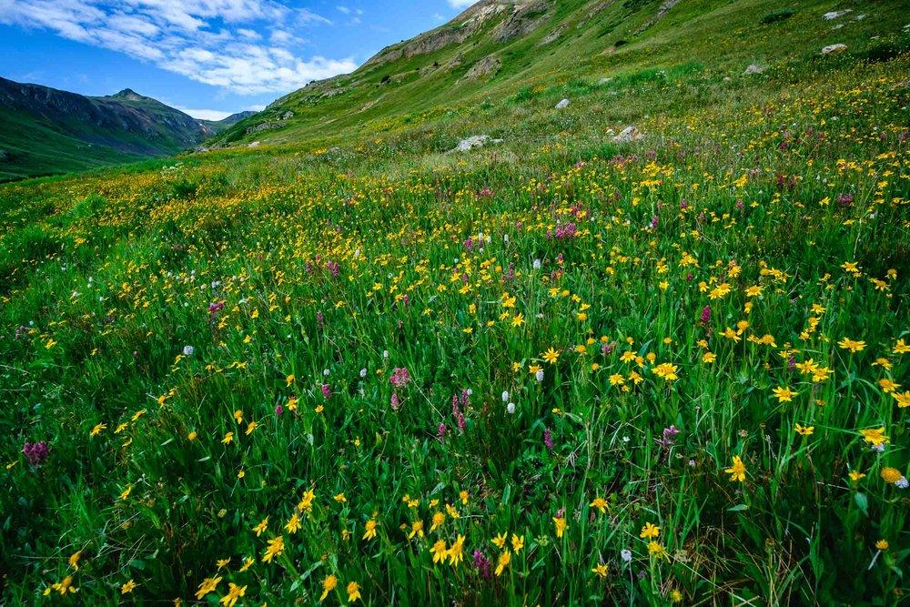 Wildflowers along Placer Gulch in the San Juan Mountains - Fuji XT2, Rokinon 12mm f/2