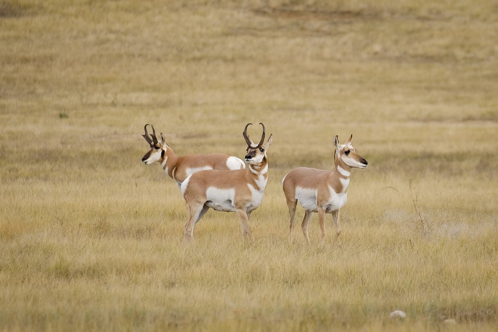 Pronghorn Antelope in Custer State Park