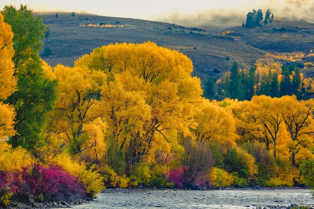 Cottonwoods and brush oak along the Gunnison River during the fall season in Colorado - Fuji XT2, XF 50-140mm f/2.8 @ 110.6mm