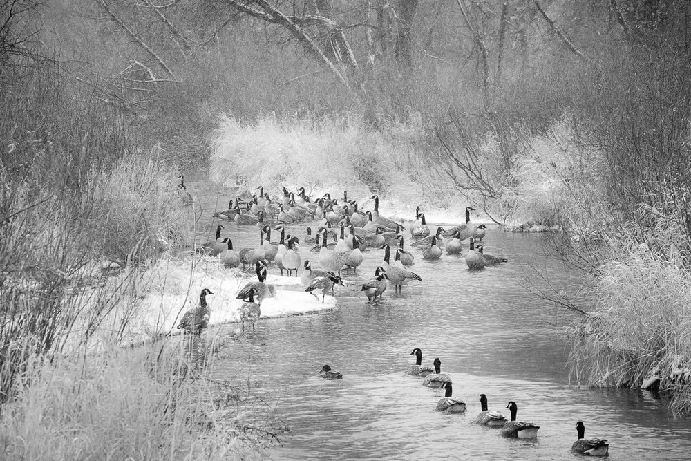 Day 3 - 365 B&W Challenge - I ventured out behind 17 Mile House and found all the geese nessled in the stream, protected by the trees in the area on this cold New Year's Eve Day