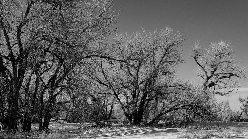 Day 17 - Leafless Cottonwoods show its struggles for growth.