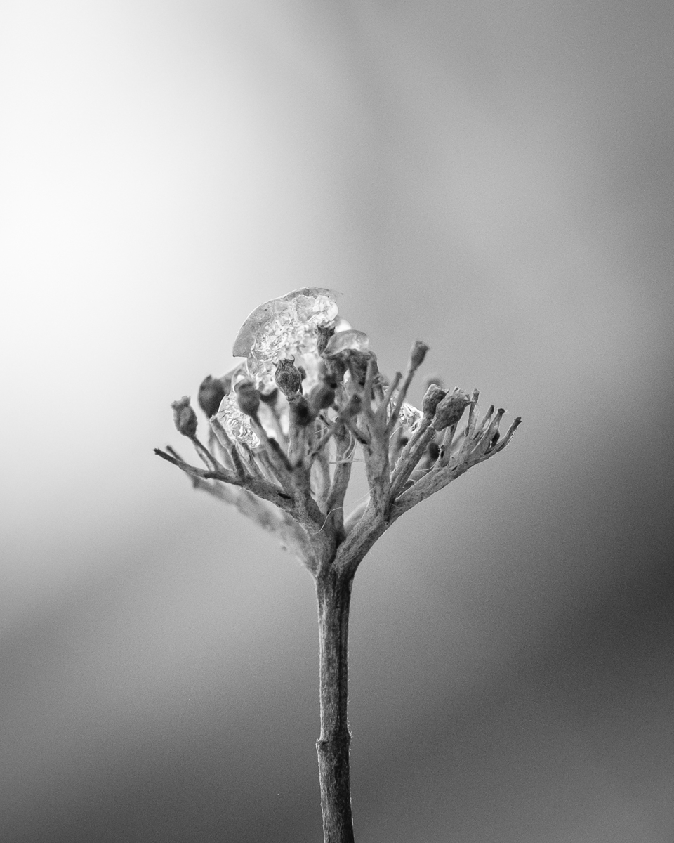 Day 21 - 365 B&W Photo Challenge - Buds on a tree have been frozen with frost from the winter storm - Fuji XT2, XF90mm f/2 w/ MCEX-11 Extension Tube