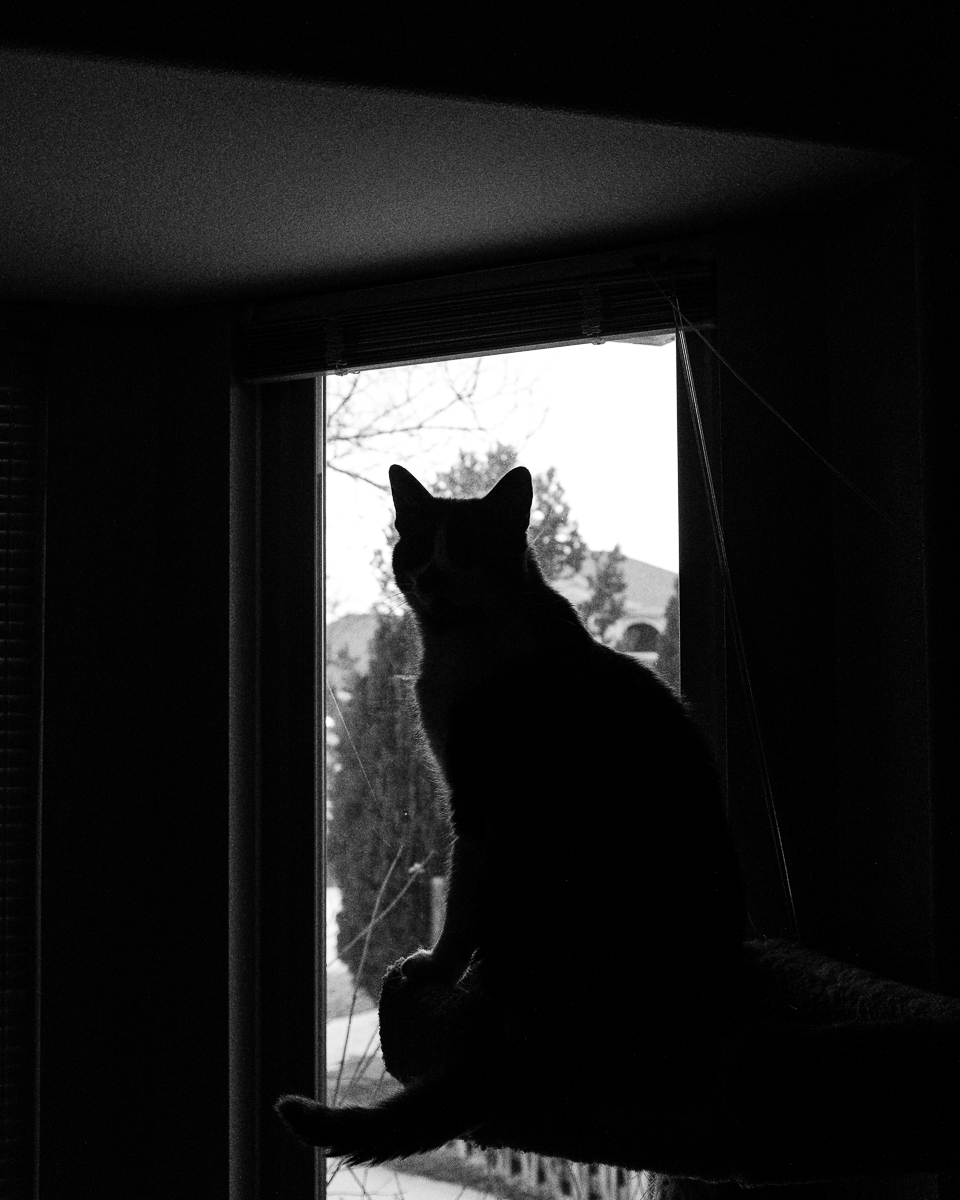 Day 35 - 365 Day B&W Photo Challenge - Zombie the cat on his perch looking out the window - Fuji X100F, Acros R Film Simulation