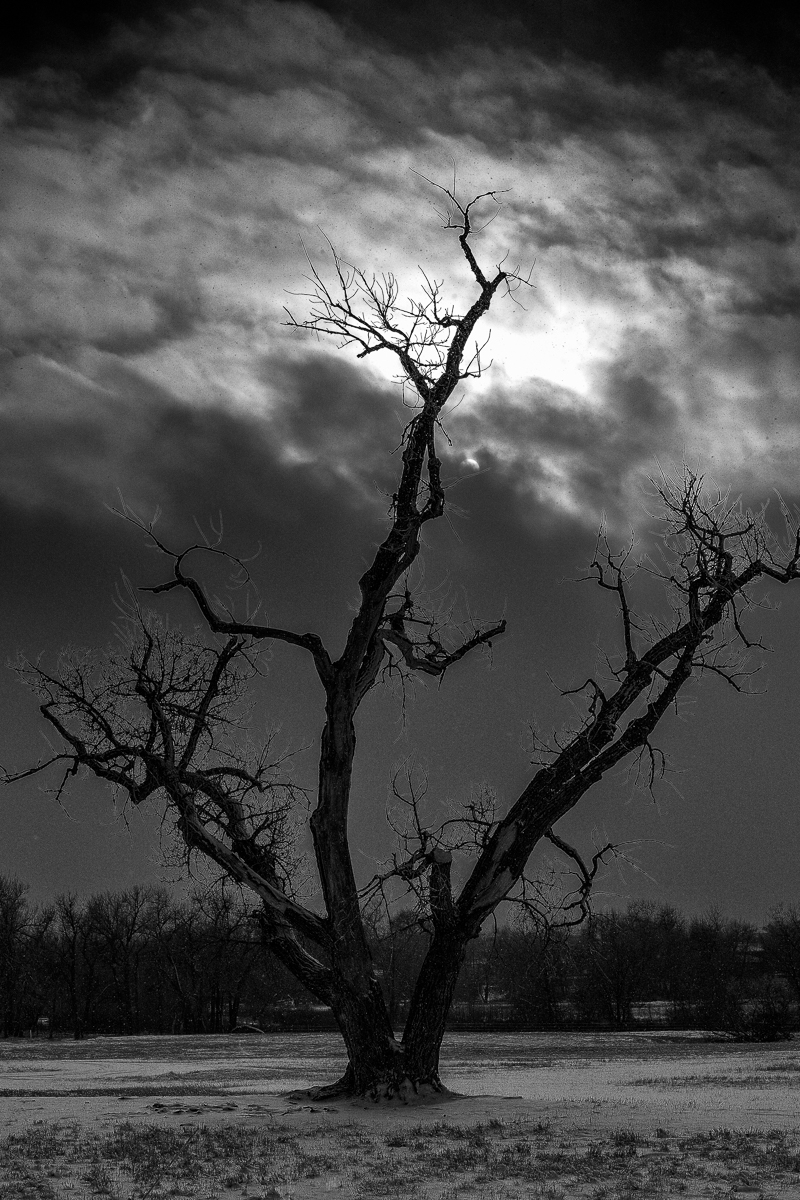 Day 41 - 365 Day B&W Photo Challenge - The Old Cottonwood stretches up toward the opening in the stormy sky - Fuji XT-2, XF35mm f/2, Acros R Film Simulation